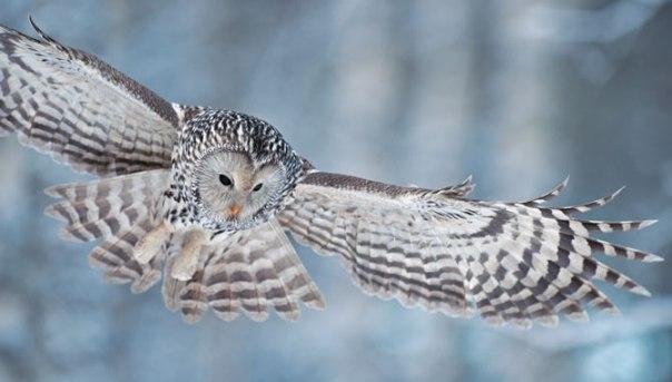 01-ural-owl-670