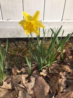 1st daffodil 2020