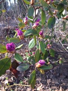 rhodedendrum buds purple